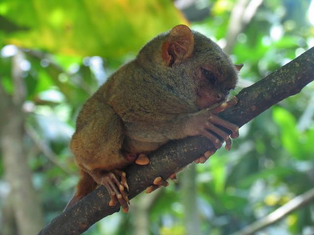 Tarsero pequeño mono bohol