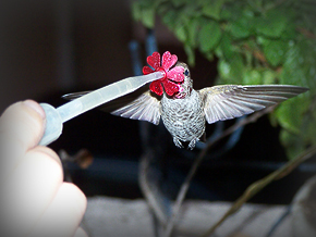 Anna's Hummingbird hand061