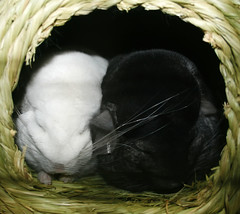 Sleeping Chinchillas (wisely-chosen) Tags: sleeping midnight chinchillas lightning cuddling picnik snuggling september2009 adobephotoshopcs4 pinkwhitechinchilla extradarkebonychinchilla timothyhaybungalow