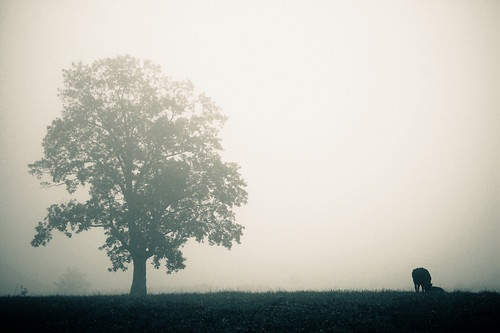 Cattle Farm in the Fog 8