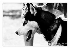 Husky (PIXELMAO) Tags: park parque naturaleza ice nature animals eyes husky colombia bogot huskies bn ojos siberianhusky animales siberian suramerica parquesimnbolvar nieva