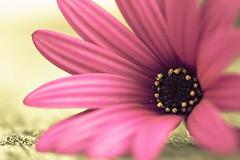 Pink is the colour of many girls.... (Lil_miz_Cheeky) Tags: pink newzealand flower macro closeup dof bokeh depthoffield auckland nz xsi lightroom closerandcloser ilovepink sigma105mm adobelightroom ilovebokeh canon450d cmwdpink lilmizcheeky cmwdweeklywinner chryslermenchavezcarlow pinkisthecolourofmanygirls kellycuriel pinkpoem