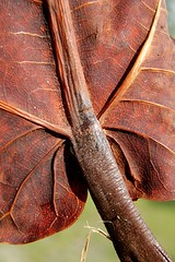 Fall in the tropics... veiny brown Almond Leaves flutter to the ground (jungle mama) Tags: brown fall texture leaves leather leaf miami almond shell dry tropical vein hull brief soe flutter fallleaf supershot brownleaf flickrsbest prunusdulcis kartpostal abigfave platinumphoto anawesomeshot leatheryleaf diamondclassphotographer flickrdiamond theunforgettablepictures prunusamygdalus rubyphotographer dragondaggeraward mothernature almondleaf newgoldenseal biscayneparkflorida veinybrownleaf leatheryfallleaf brownalmondleaf