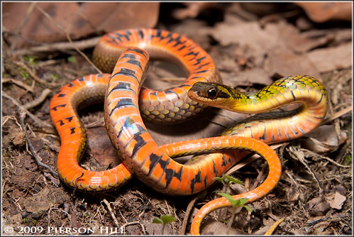 High Woods Coral Snake