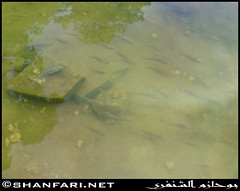 Fish in Darbat Lake (Shanfari.net) Tags: flowers plants nature al natural ericsson sony greenery cave oman salalah  sultanate dhofar  khareef  haq  diplopoda     taqah    governate  madeinat  darbat taiq c905  raythut