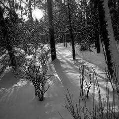 Winter Morning Light (Don Iannone) Tags: winter blackandwhite snow forest interestingness nikon flickr explore wintertime morningsunlight northeastohio sunthroughtrees wrhs sunandshadows doniannone greatercleveland january2009 snowyforest mayfieldvillageohio nikond40xcamera doniannonephotography visualadvantagephotography