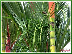 Curved inflorescence of Cyrtostachys renda (Lipstick Palm, Red Sealing Wax Palm)
