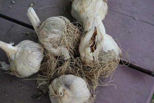 seed garlic