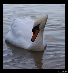I've got my eye on you (Magicshotsuk) Tags: orange white black eye water neck swan beak feathers ripples