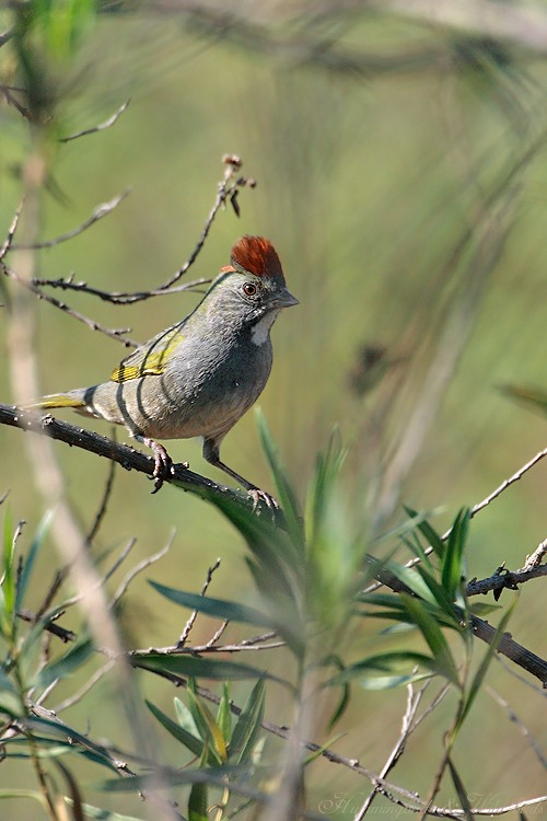 Green-tailed Towhee 11091