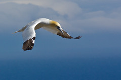 Northern Gannet (Phiddy1) Tags: canada birds pentax quebec flight gannet gaspe perce sepaq ilebonaventure foudebassan specanimal avianexcellence k20d faunainmotion parcsqubec da200mm pentaxart parcnationaldellebonaventureetdurocherperc flickrunitedawarg