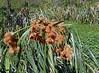 (Scirpus giganteus) PAJA  BRAVA ~ Original = (3371 x 2479) (turdusprosopis) Tags: scirpus cyperaceae pajabrava cortadera floraargentina plantasargentinas plantasdeargentina naturalezaargentna naturalezadeargentina naturalezadelaargentina plantasautóctonasargentinas plantasautóctonasdelaargentina floraautóctonaargentina floraautóctonadeargentina plantasnativasargentinas plantasnativasdeargentina plantasnativasdelaargentina floradelaargentina floradeargentina plantasautóctonasdeargentina floraautóctonadelaargentina floranativabrasileira floranativadobrasil floradobrasil argentineindigenousplants reservadevicentelópez reservaecológicadevicentelópez reservaecológicavicentelópez scirpusgiganteus scirpusgiganteuskunth androcomaspeciosa androtrichumspeciosum androtrichumgiganteum