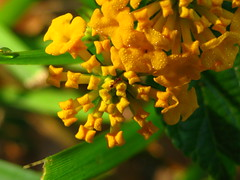 """IMG_7550 (Claire DeLand ~ """"GA Music Maker"""") Tags: flowers dewdrops lantana earlymorninglight g9 butterflybait carnesvillega flowerswithdewdrops"""