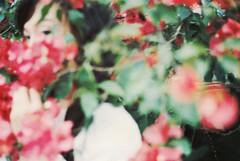 _依隨妳,失落的線索。 (eliot.) Tags: film minolta sunday sophie taiwan bougainvillea 台灣 agfa eliot 新竹 關西 九重葛 agfavista200 himatic7s vista200 minshiuedai sunnygao 剎那,沒有了 掉了,丟了 剩下的