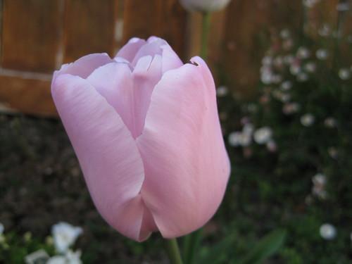 鬱金香(tulip)