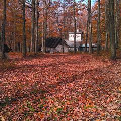 Sugar Bush with Maple Trees in the Fall