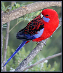 Crimson Rosella (TheGreatContini) Tags: red bird nature beautiful colorful wildlife sydney australia colourful crimsonrosella