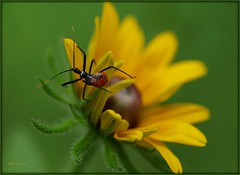 Bug On Yellow (MEaves) Tags: flower macro green nature yellow closeup bug insect illinois pentax assassin potofgold sigma105mm supershot k10d pentaxk10d platinumphoto magicofaworldinmacro wheelbugnymph beautifulmonsters