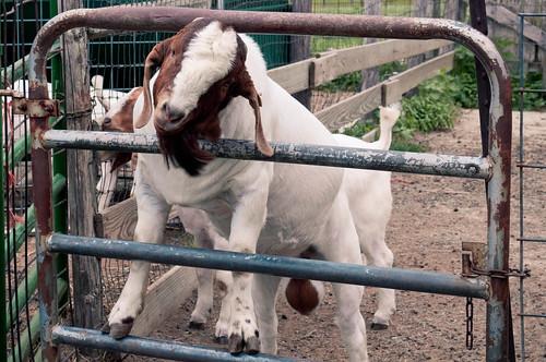 Goat Fence 1