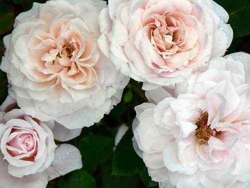 Quietness, a Buck rose