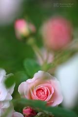 Helios rose 2