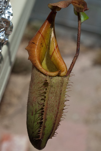Nepenthes Veitchii xx Tiveyi: Golden Peristome