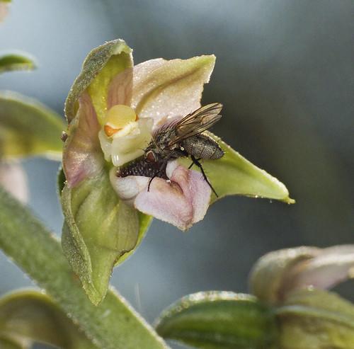 Epipactis, abreuvoirs à insectes 3726481354_d9e45d0844