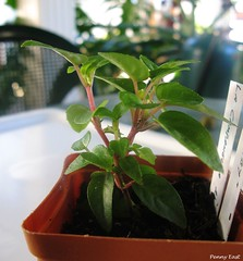 08 Blog baby 18 weeks (pennyeast) Tags: southafrica blog fuchsia capetown cutting onagraceae propagation papaalphaecho lacampanella