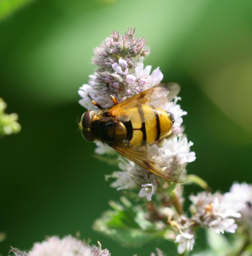 Hoverfly - Volucella inanis