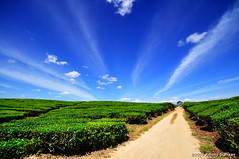 tea plantation, tobasari (Johnny Siahaan) Tags: sunset sky nature water beautiful sunrise sumatra indonesia landscape photo amazing nikon asia tour photos stockphotos bestshot laketoba stockphotography beautifullandscape traveltravel photostock danautoba sumaterautara sellphotos tobalake interestinglandscape indonesianphotographer sumatratravel visitindonesia fiveprime danaubiru pestadanautoba visitsumatra tujuanwisata johnnysiahaan kawasandanautoba sumatratourism northsumatratourism sumatraecotourism fotodanautoba photodanautoba