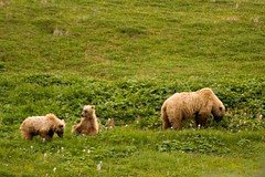 The Family of Bears (blkwolf1017) Tags: alaska wildlife canon20d bears cubs brownbear ursusarctos grizzlybear denalinationalpark sigma80400mm