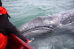 A young whal