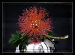 A red flower over the silver ball .. (Rebeca Mello) Tags: stilllife flower reflection beautiful sony flor legacy reflexos redflower tistheseason florvermelha alpha200 sonyalpha200 miasbest miasexcellence rebecamello rebecamcmello daarklands flickrvault magicunicornverybest selectbestfavorites trolledproud