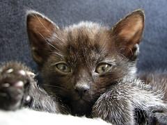 What's that black thing? (Jan Gee) Tags: pet cats black cat chats kitten katten kat feline chat noir kitty gatos gato pip gata katze zwart gatto katzen negra poes schwarz kot noire gattos