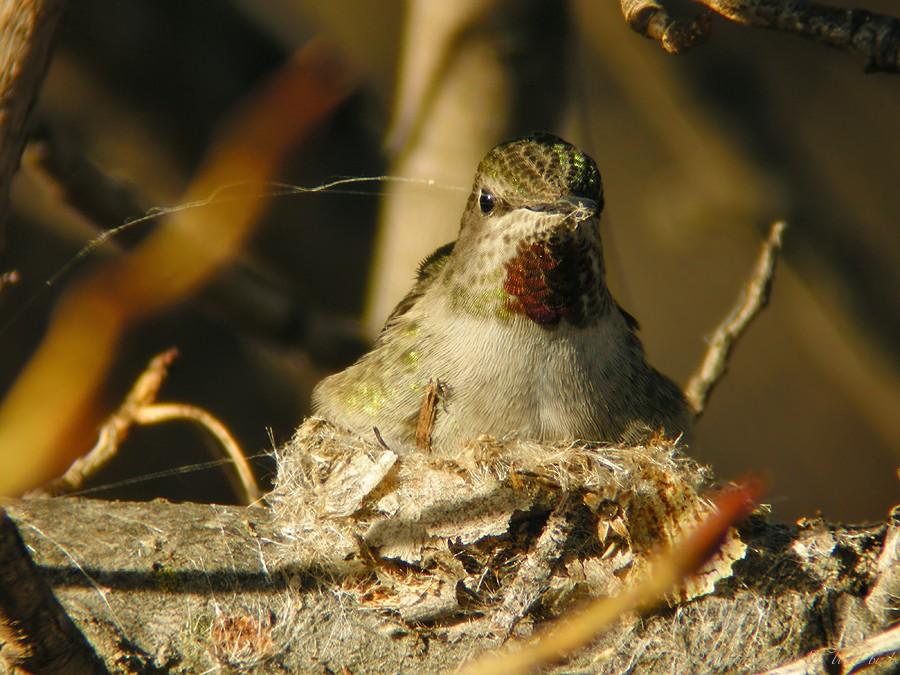 Anna's Hummingbird nest091-11