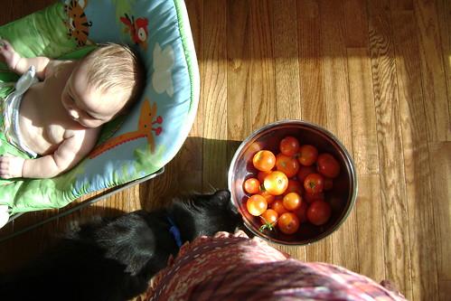 tomatoes 003