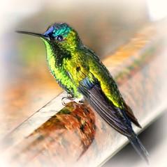 Wonderful Nature ! (tinica50) Tags: friends bird hummingbird beijaflor mywinners diamondclassphotographer citrit theunforgettablepictures theperfectphotographer goldstaraward thesuperbmasterpiece natureselegantshots rubyphotographer saariysqualitypictures thebestofmimamorsgroups luxtop100