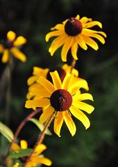 Blackeyed Susans (Bob Diekmeier) Tags: flowers blackeyedsusan