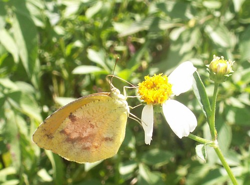 Sleepy Orange Sulphur 1