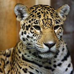 Jaguar Mom (andreas lem) Tags: berlin animal canon germany iso3200 zoo europe friedrichsfelde jaguar tierpark eos5d pantheraonca alfredbrehmhaus
