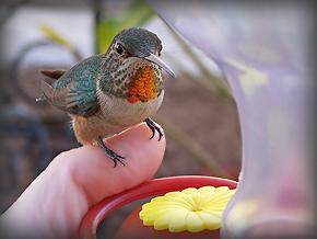 Allen's-Hummingbird071-2