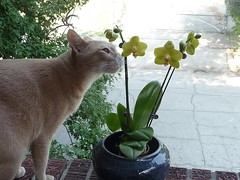 Sammy Sniffing an Orchid (Philosopher Queen) Tags: orange orchid cat beige chat gato buff sammy furryfriday sniffing samson smelling checkingout