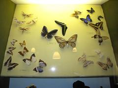 38 Butterflies (Rare Rupert) Tags: butterflies tring naturalhistorymuseum