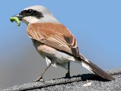 Red-backed Shrike, Sallent de Gllego (Spain), 22-Jun-09 (Dave Appleton) Tags: bird birds spain aragon shrike gallego redbacked redbackedshrike lanius passerine laniuscollurio collurio sallentdegallego