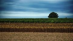 Tricolore (Pascale Dupuis) Tags: nikon champs ciel maritime charente tournesols d60 vitaline allrightsreserved©pascaledupuis