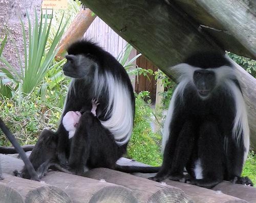 primate11