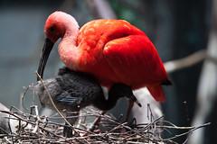 Blijdorp_IBIS-4622 (Arie van Tilborg) Tags: zoo rotterdam blijdorp ibis dierentuin diergaarde rotterdamzoo rodeibis arievantilborg