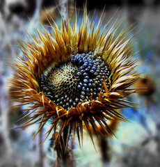 Y la belleza de un cardo?/ The beauty of a thistle? (berpala) Tags: flowers flores flower color colors ego flor ciudad amazingcolors autunm dinnerandamovie blueribbonwinner digitalcameraclub cherryontop flowerscolors 5photosaday beautifulphoto addictedtoflickr fantasticflower fineartphotos golddragon abigfave platinumphoto anawesomeshot colorphotoaward flickrplatinum deniscollette blueribbonwinne superbmasterpiece digitalphotoart diamondclassphotographer flowerpicturesnolimits amazingamateur theunforgettablepictures flowerwatcher brillianteyejewel adoublefave colourartaward platinumheartaward betterthangood goldstaraward internationalgeographic academyofphotographyparadiso flowersarefabulous alwayscomment5 exquisiteflowers flickrlovers breathtakinggoldaward awesomeblossoms 100commentgroup colorfullaward flickrflorescloseupmacros elshowdelmacro berpala dragondaggerphot dragondaggerphoto dragondaggerawards flickrvault emotionfromthepicture