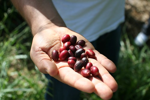 Some ripe, some overripe coffee cherries