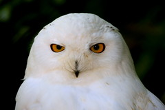 Whats Hedwig doing in Amsterdam?? (kees straver (will be back online soon friends)) Tags: winter portrait white snow bird nature birds animal sparkles zoo eyes bokeh wildlife beak feathers couch explore owl winder portret beautifuleyes artis birdofprey vogel yelloweyes snowyowl veren sneeuwuil snavel buboscandiacus mywinners keesstraver